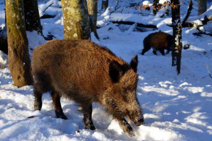 Widlschwein